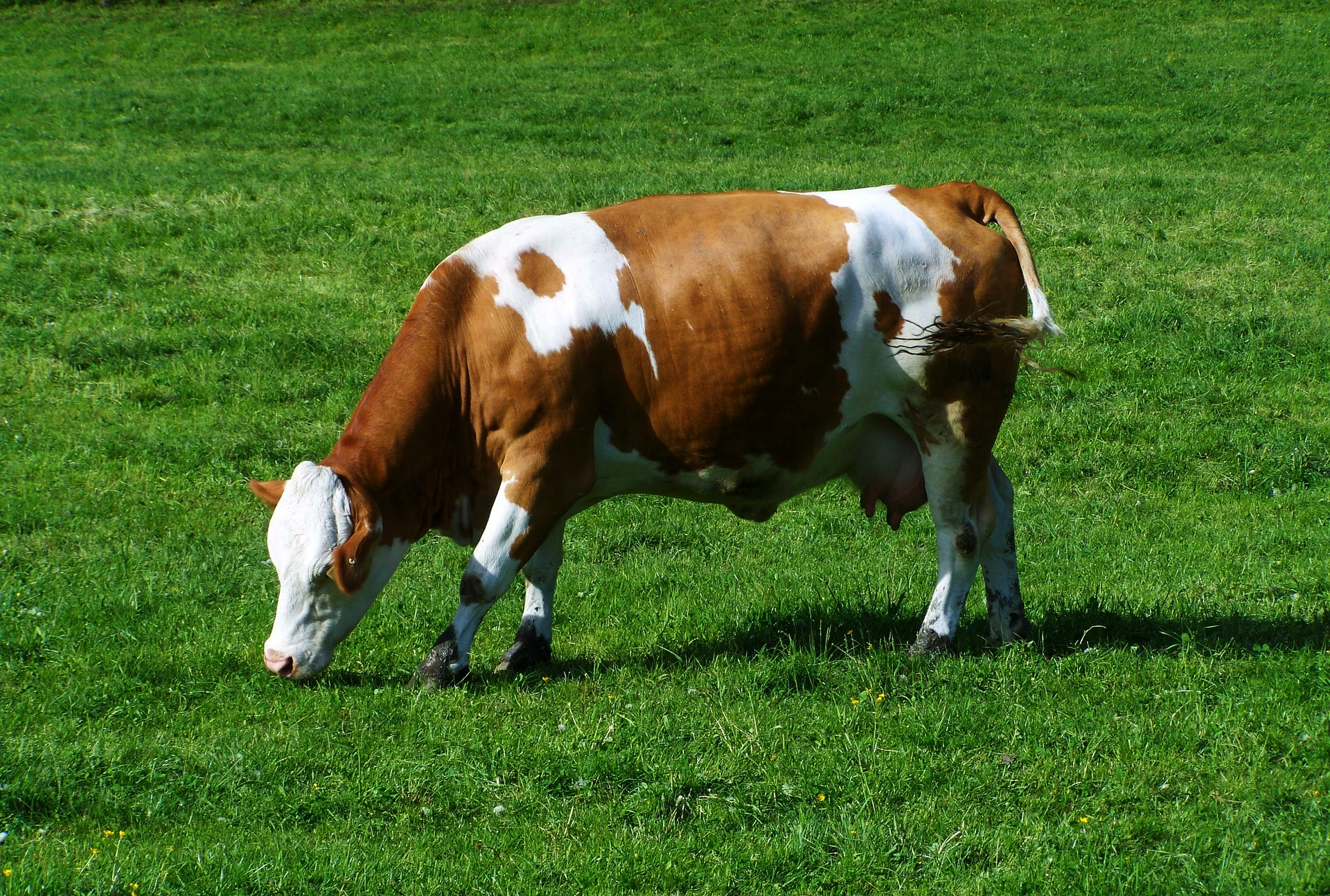 brown-and-white-cow-779425_1920
